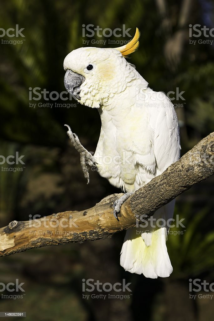 Karate cockatoo royalty-free stock photo
