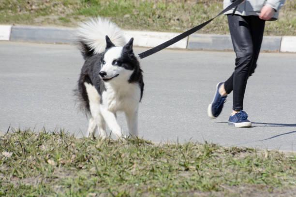 Karelian bear dog safe dog walking even a big dog should be on a picture id1156672984?b=1&k=6&m=1156672984&s=612x612&w=0&h=rd6z iy2m6vsehz0invdgyharv9wn0 nuw8mdm77qmo=