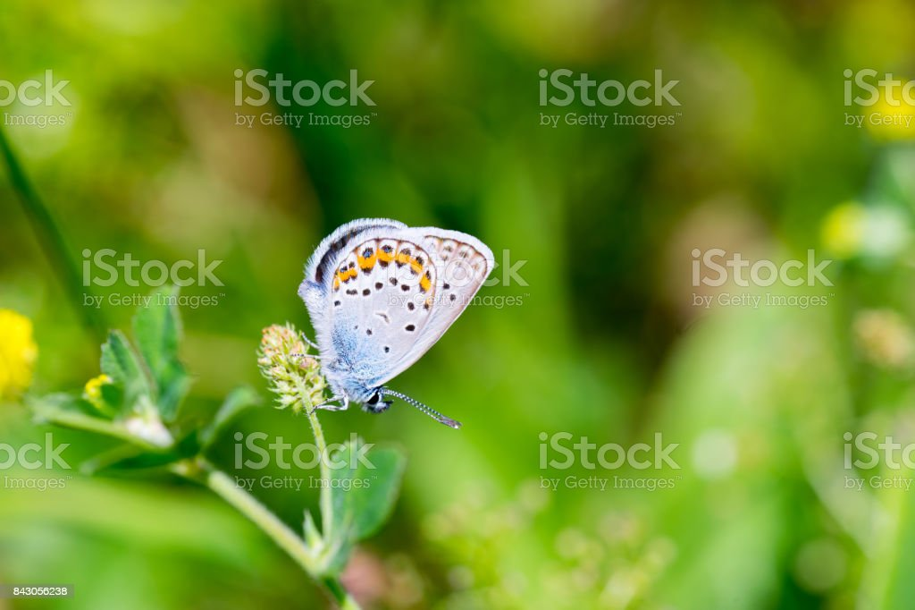 Karner Blue Butterfly (Polyommatus icarus) macro. stock photo