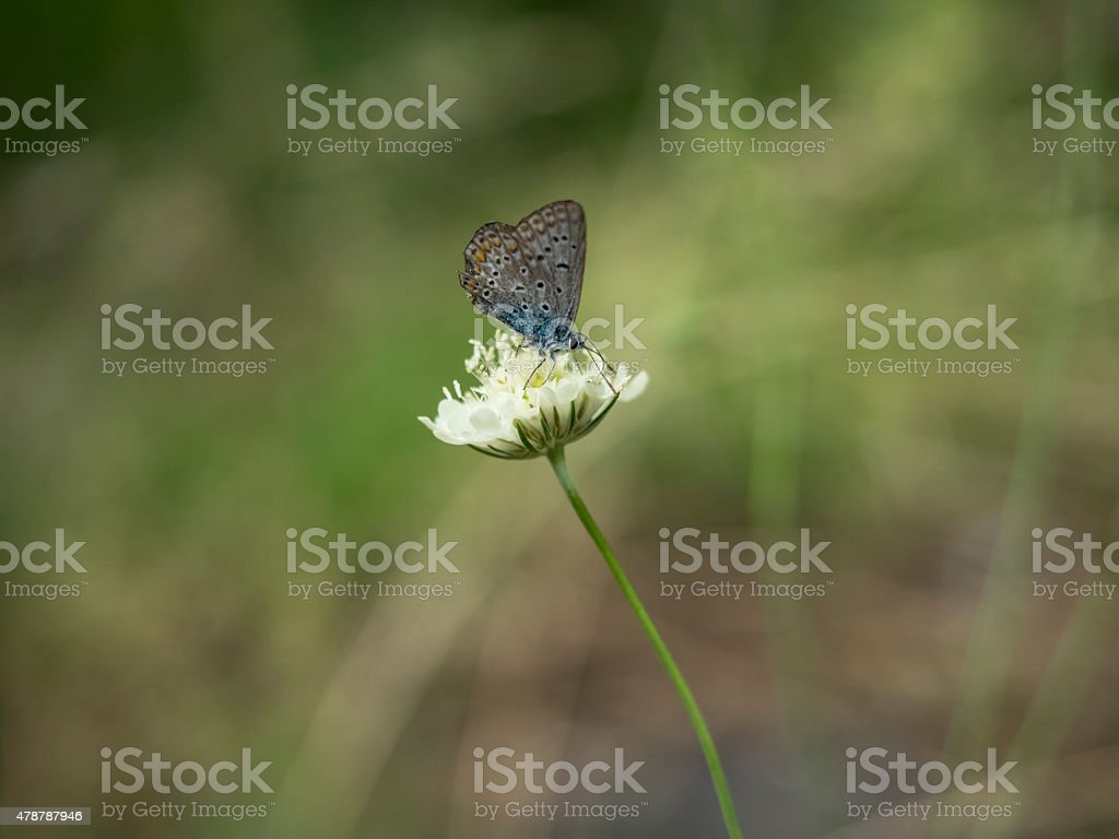 Karner Blue Butterfly stock photo