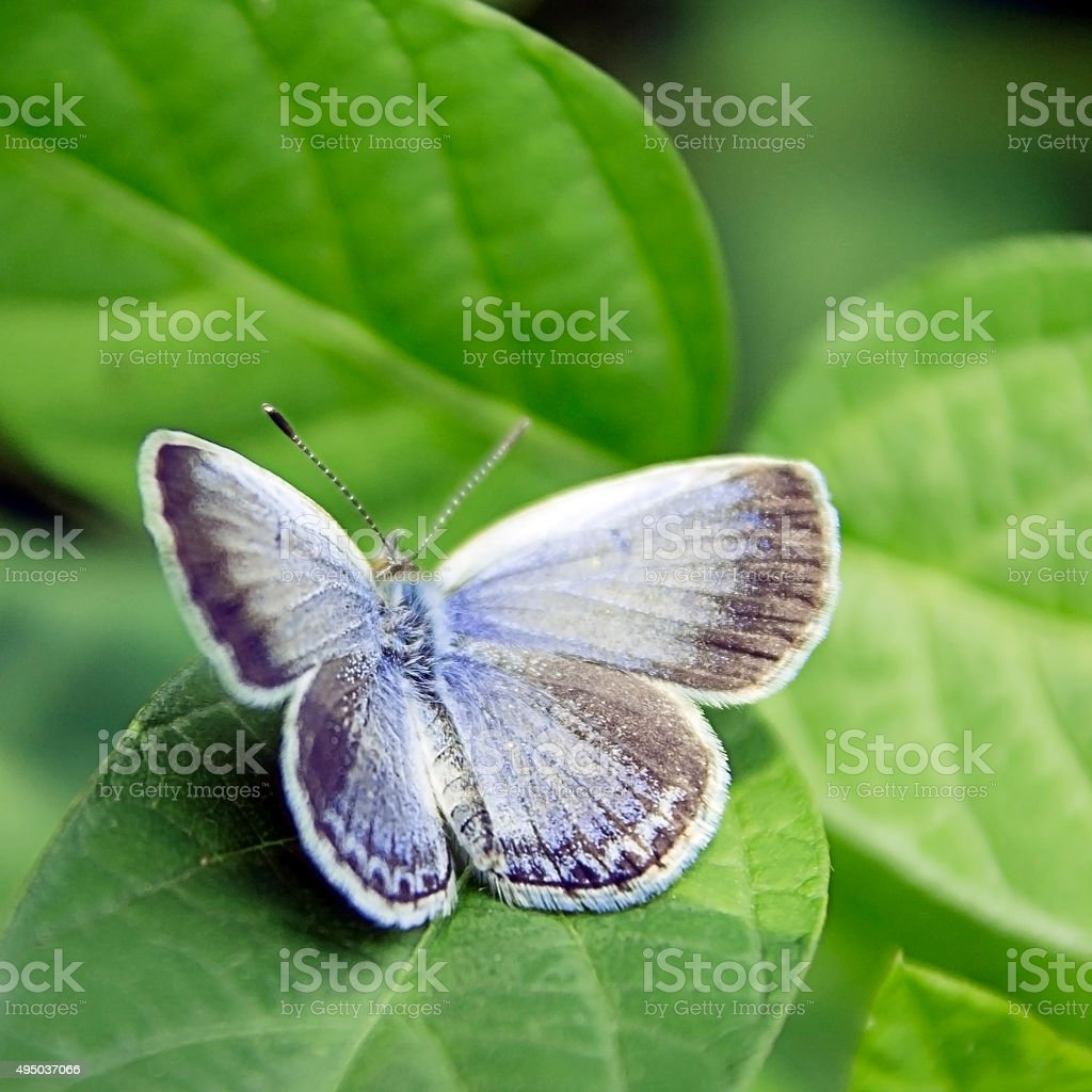 Karner Blue(Lycaeides Melissa Samuelis) stock photo