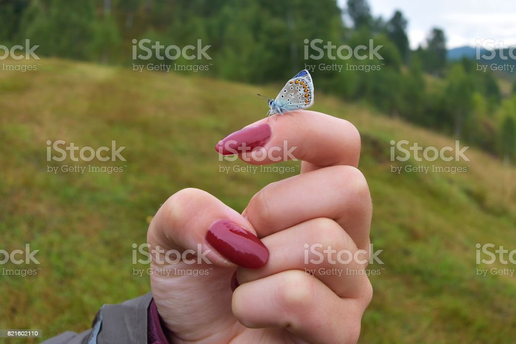 'Karner' Melissa Blue butterfly on a girl hand stock photo