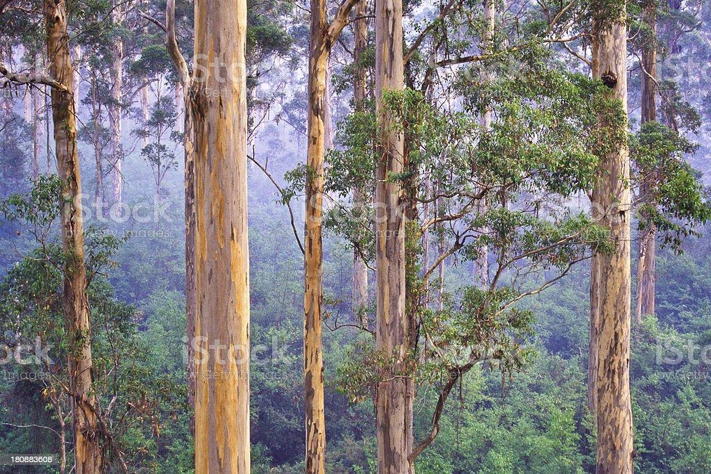 Karri (Eucalyptus diversicolor) forest, Western Australia stock photo