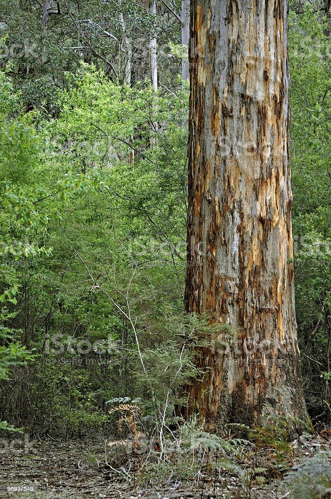 Karri Tree - Australia royalty-free stock photo