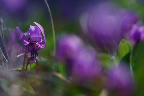 Katakuri Dogtooth violett – Foto