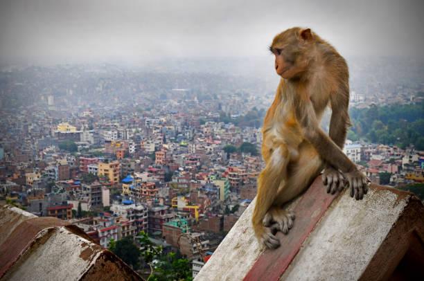 kathmandu skyline and rooftop monkey - macaco foto e immagini stock