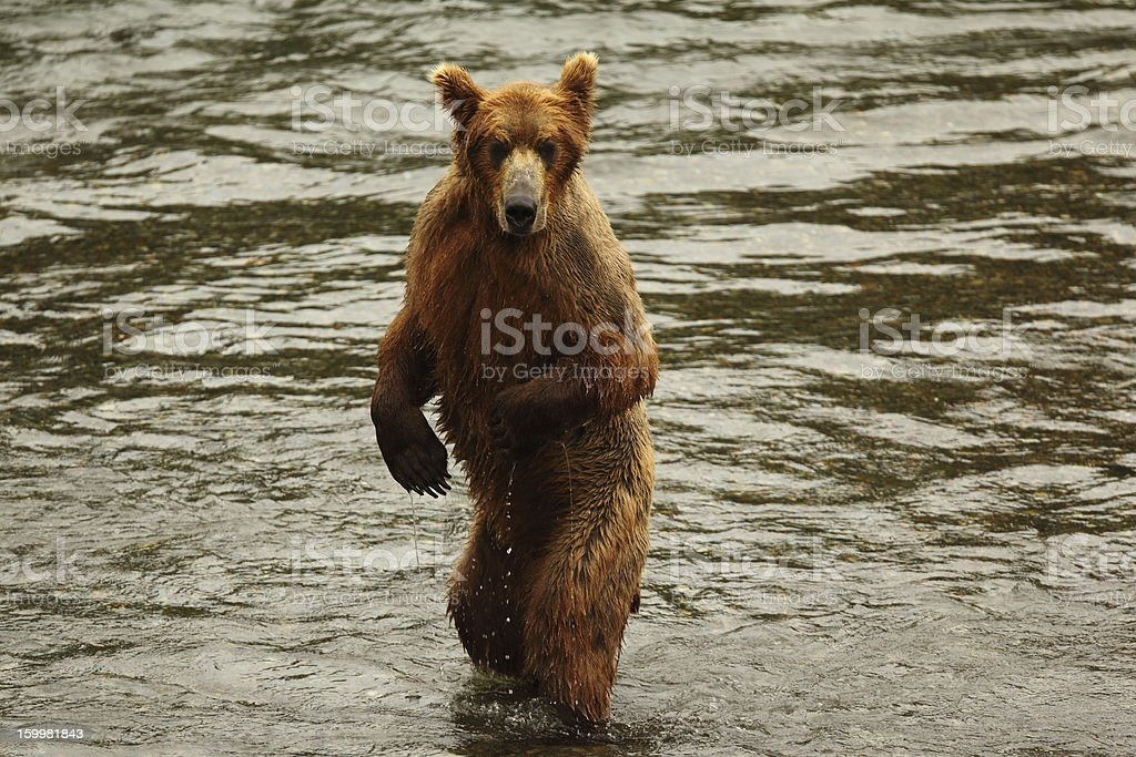 Katmai bear royalty-free stock photo
