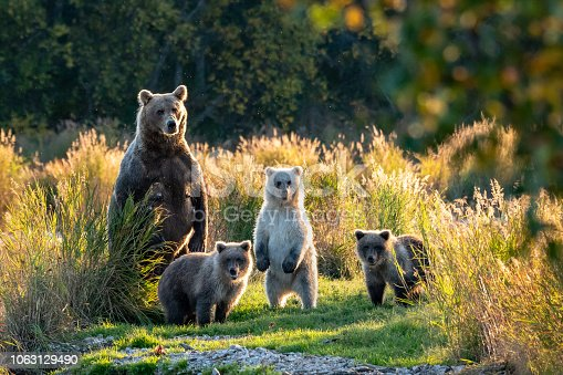 Large adult female Alaskan brown bear with three cute cubs standing on a grassy spit of land in the Brooks River, Katmai National Park, Alaska, USA