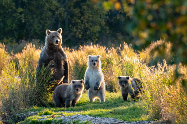 Katmai Bears Large adult female Alaskan brown bear with three cute cubs standing on a grassy spit of land in the Brooks River, Katmai National Park, Alaska, USA animal family stock pictures, royalty-free photos & images