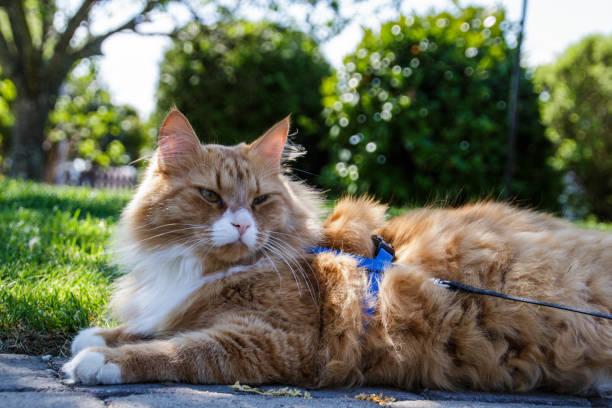 katt utomhus - cat leash stock photos and pictures