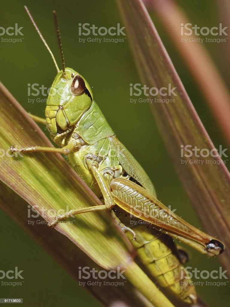 Katydid- insect royalty-free stock photo