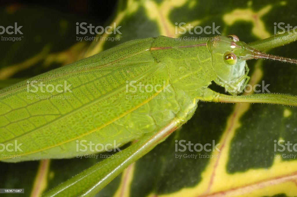Katydid on Croton stock photo