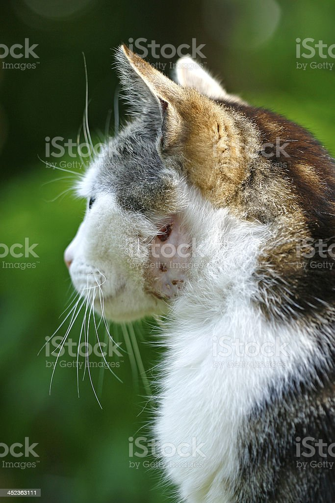 Katze mit einer Bisswunde stock photo