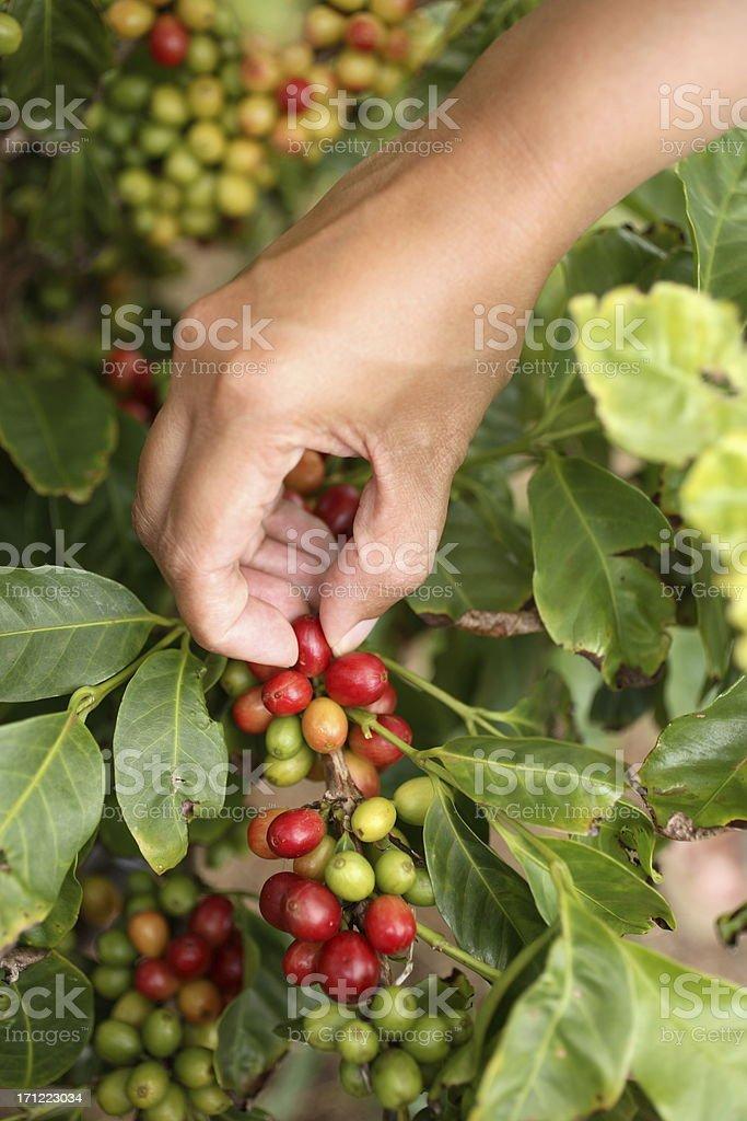 Kauai: Coffee Harvest stock photo