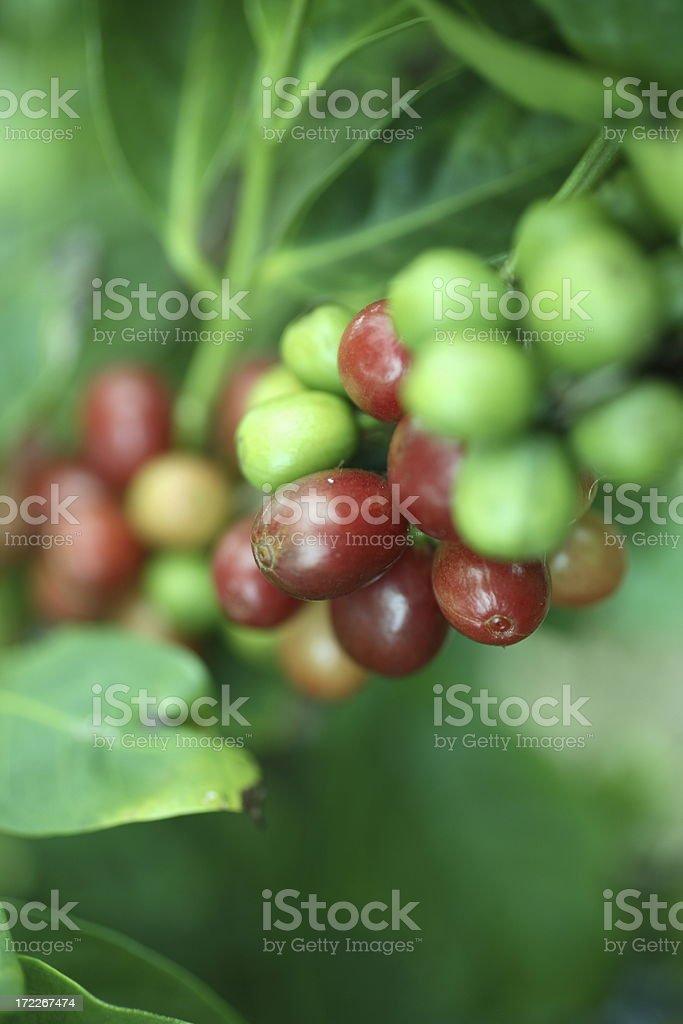 Kauai: Coffee stock photo