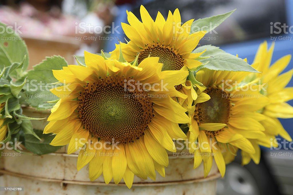 Kauai: Sunflowers stock photo