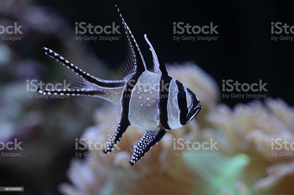 Kauderni Bangaii Bass stock photo