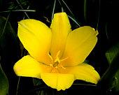 Kaufmanniana Tulip Berlioz in Keukenhof garden (Holland). Shot has been taken in Keukenhof garden in the Netherlands.