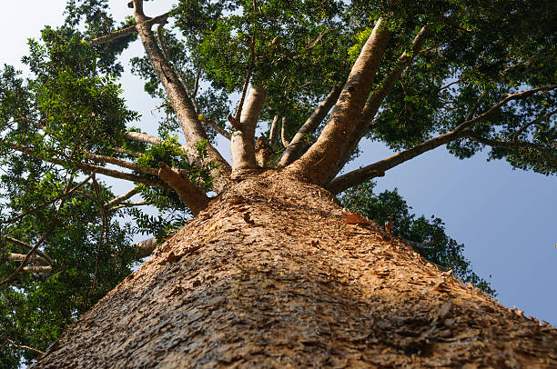 Kauri tree, Agathis australis stock photo