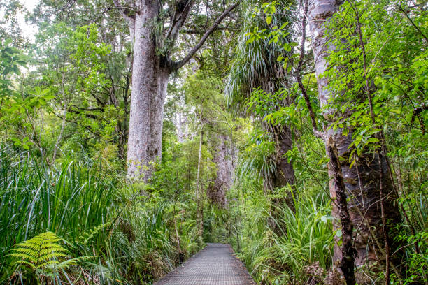 319 Kauri Tree Stock Photos Pictures Royalty Free Images Istock One of the largest trees in the world, the kauri. 319 kauri tree stock photos pictures royalty free images istock