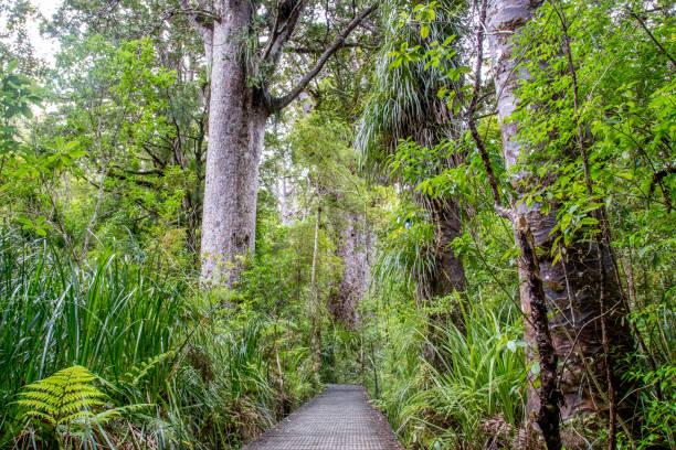 Kauri Tree Forest en Nueva Zelanda - foto de stock