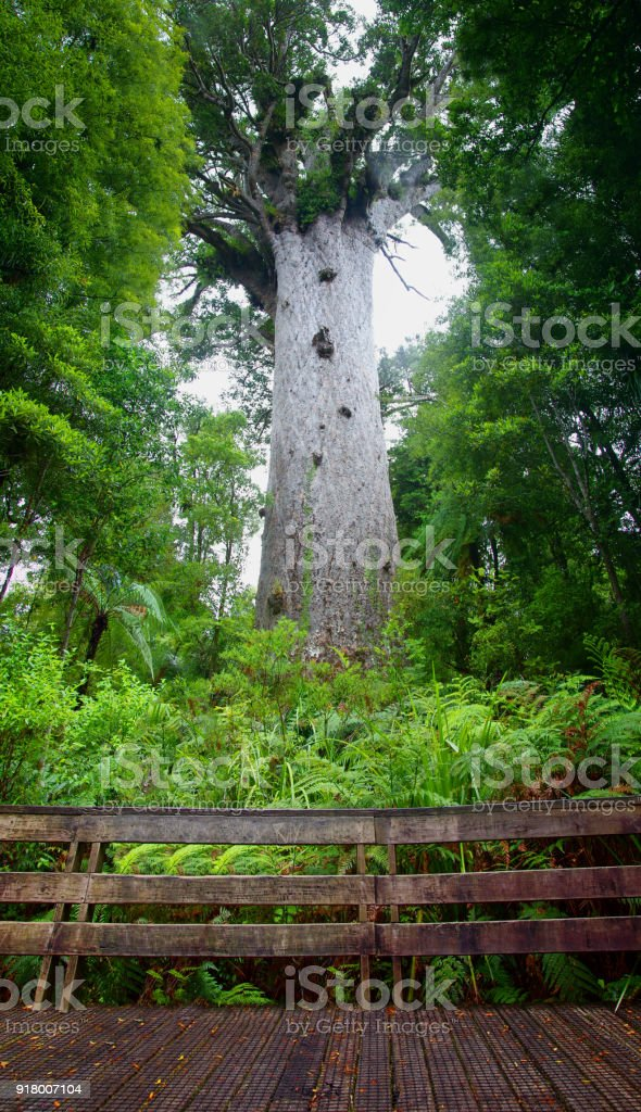 Cartoon Kauri Tree : Watch online and download dora the explorer cartoon in high quality.