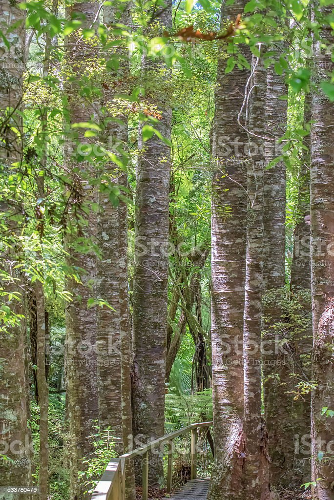 Kauri Tree stock photo