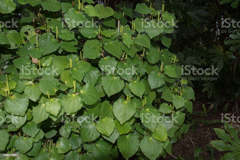 Kava kava plant royalty-free stock photo