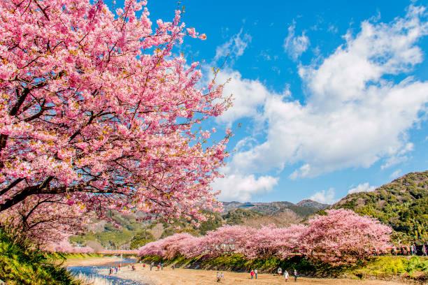 kawadu cherry blossoms - cherry blossoms imagens e fotografias de stock