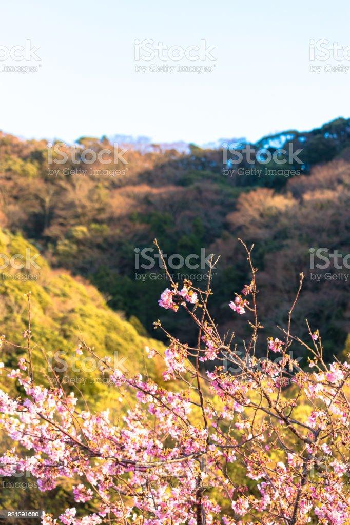 Kawazu cherry tree in kyonan-machi, Awa-gun, Chiba prefecture,Japan stock photo