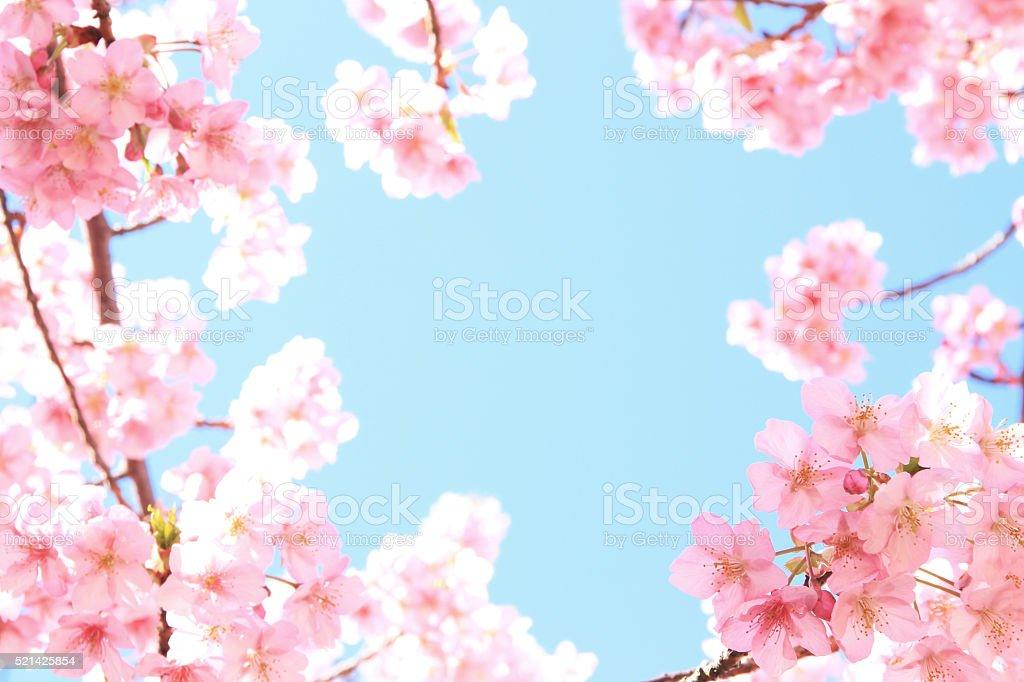 Kawazu-Sakura stock photo
