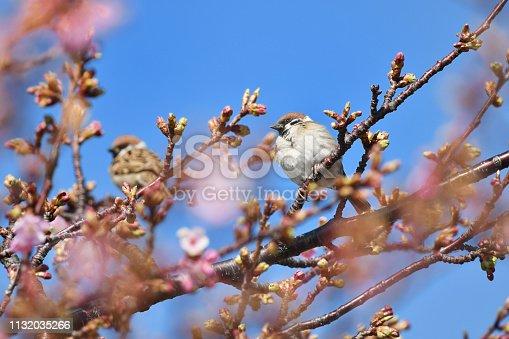 521620252 istock photo kawazuzakura and sparrow 1132035266