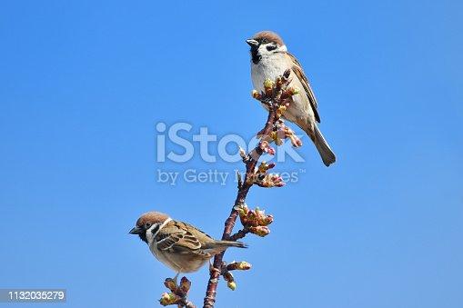 521620252 istock photo kawazuzakura and sparrow 1132035279