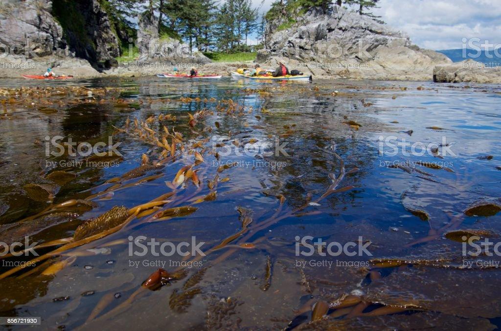 Kayakers and giant kelp brhind Thomas Island, BC stock photo