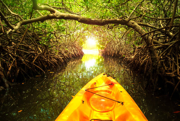 Kayaking in mangrove forest stock photo