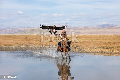 Kazakh eagle hunter galloping through shallow river water with his golden eagle. Ulgii, Western Mongolia.