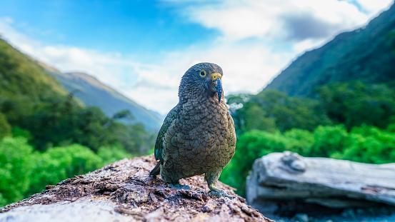 Kea Mountain Parrot On A Tree Trunk Southern Alps New Zealand - Fotografie stock e altre immagini di Albero