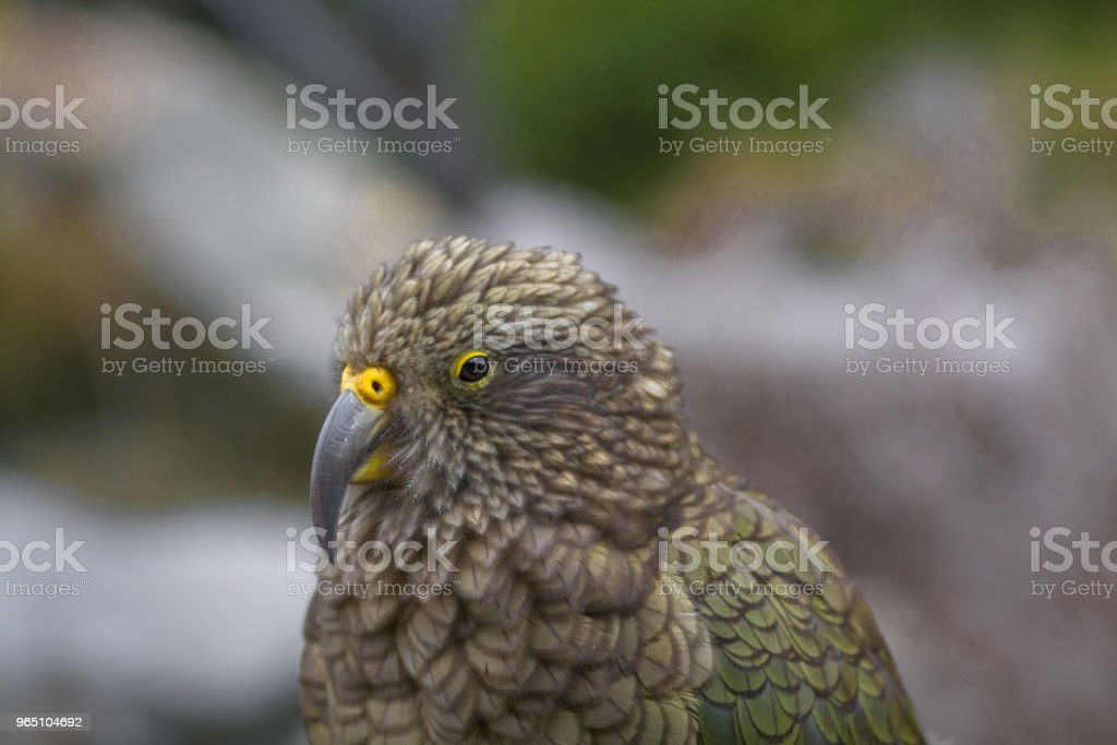 Kea - nestor notabilis royalty-free stock photo