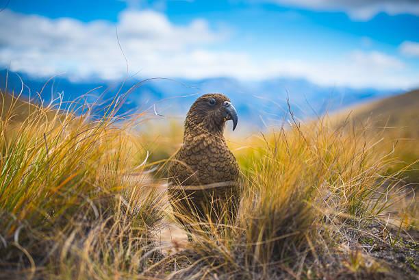 Kea the alpine parrot picture id638104462?b=1&k=6&m=638104462&s=612x612&w=0&h=g7gjorflkdqsbebbmp wj9s2ol9ac9jzvhncc0wtwyi=