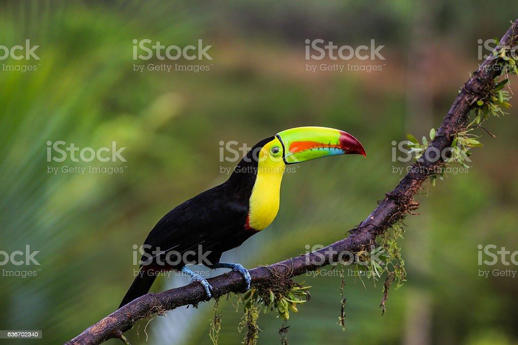 Keel billed toucan in Costa Rica – Foto