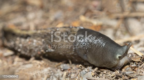 Keelback slug, Limax cinereoniger on ground, macro photo.