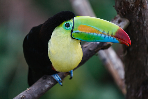 Exotic Birds of Costa Rica. The Colorful Keel-billed Toucan in a Tropical Rainforest