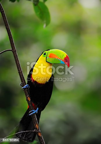 close-up of a keel-billed toucan  (Ramphastos sulfuratus), also known as sulfur-breasted toucan or rainbow-billed toucan in the rainforest of costa rica