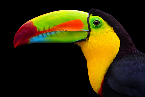 close-up of a keel-billed toucan  (Ramphastos sulfuratus), also known as sulfur-breasted toucan or rainbow-billed toucan