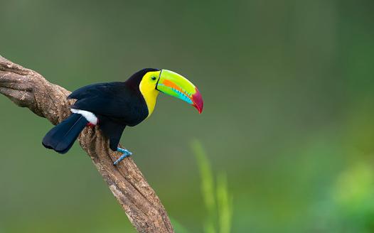 Keel-billed toucan, ramphastos sulfuratus. Beautiful multicolored bird in Central America.