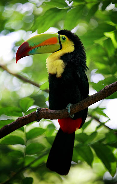 Keel-billed Toucan stock photo