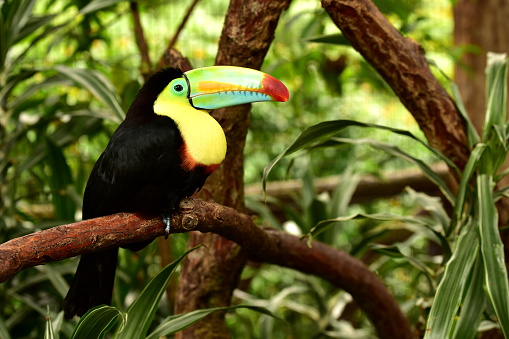 Keel-billed Toucan on branch in jungle forest