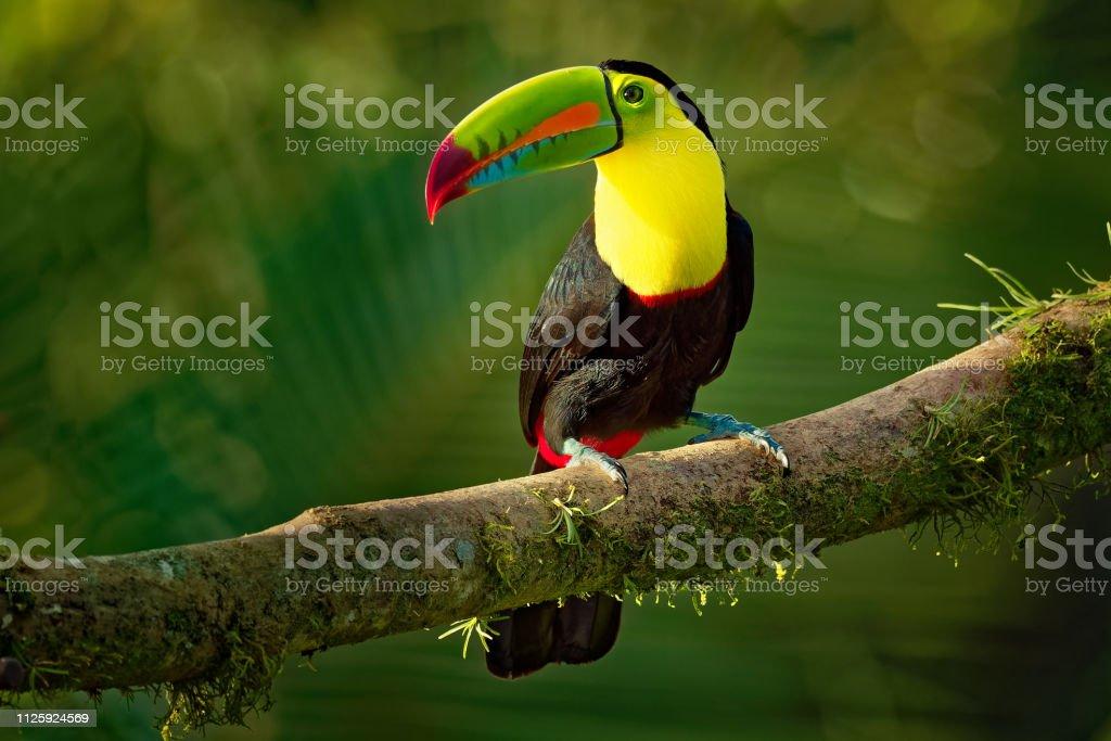 Zwavelborsttoekan - Ramphastos sulfuratus ook bekend als zwavel-breasted toucan of regenboog-billed Toekans - Royalty-free Antiek - Toestand Stockfoto