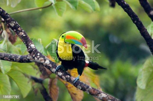 Keel-billed Toucan, shot in Panama.