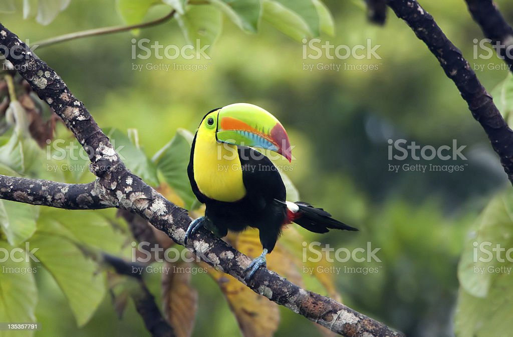 Keel-billed Toucan sitting on a branch in the jungle stock photo